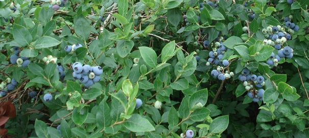 Bleuets-en-corymbe-ou-bleuets-geants-Photo-Bleuets-de-la-Vallee-du-Haut-Saint-Laurent-publiee-par-INFOSuroit-com_