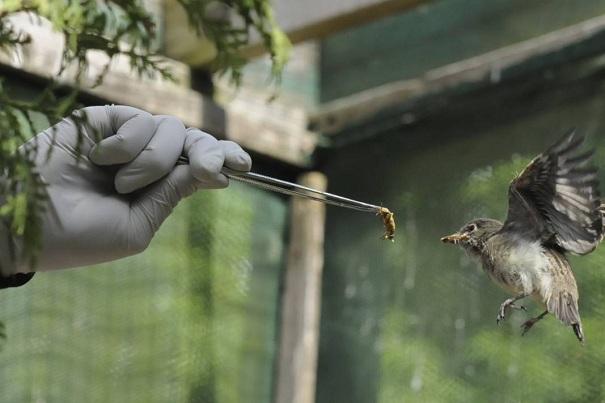 Le-Nichoir-soins-aux-oiseaux-sauvages-Photo-courtoisie-publiee-par-INFOSuroit-com