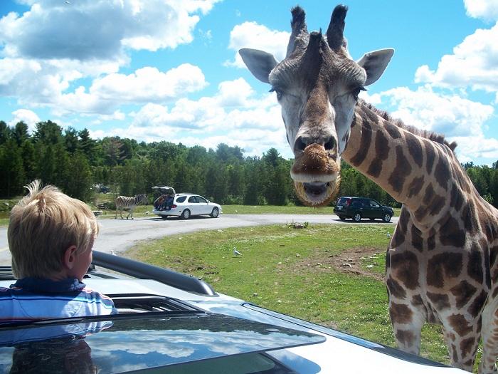 Parc-Safari-Hemmingford-Photo-courtoisie-Tourisme-Suroit-pour-INFOSuroit-com_