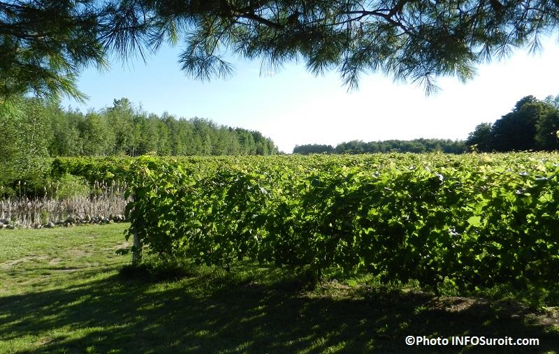 Vignes-du-Vignoble-Cote-de-Vaudreuil-Photo-INFOSuroit_com