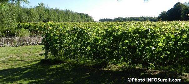 Vignoble-Cote-de-Vaudreuil-saison-2012-Photo-INFOSuroit-com_