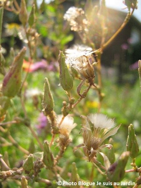 Laitues-en-graines-Photo-Jasmine-Blogue-Je-suis-au-Jardin-publiee-par-INFOSuroit-com_