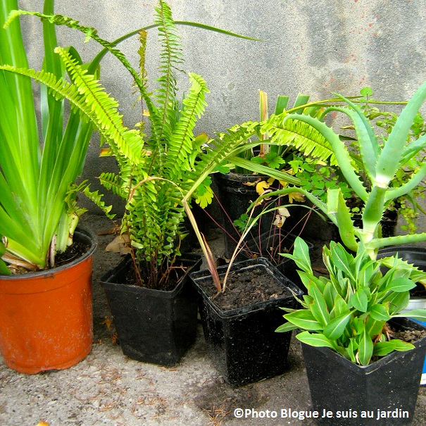 Vivaces-plantes-Photo-blogue-Je-suis-au-Jardin-Jasmine-Kabuya-Racine-Publiee-par-INFOSuroit-com_
