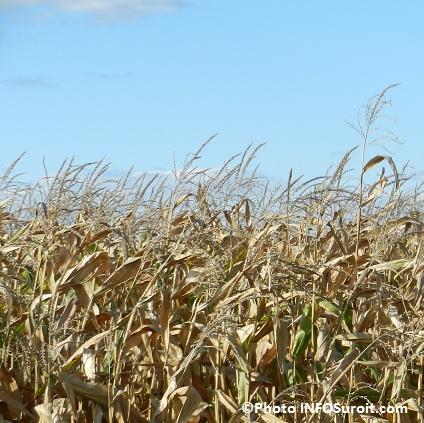 Agriculture-Champ-de-mais-a-Saint-Timothee-Photo-INFOSuroit-com_