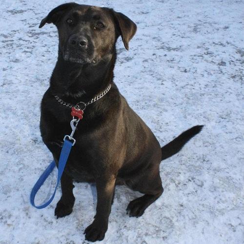 SPCA-Valleyfield-chien-labrador-Hiver-Photo-courtoisie-publiee-par-INFOSuroit