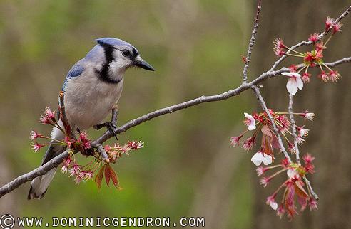 oiseau-geai-bleu-tournage-l_eau-culte-riviere-St-Louis-Photo-Dominic-Gendron