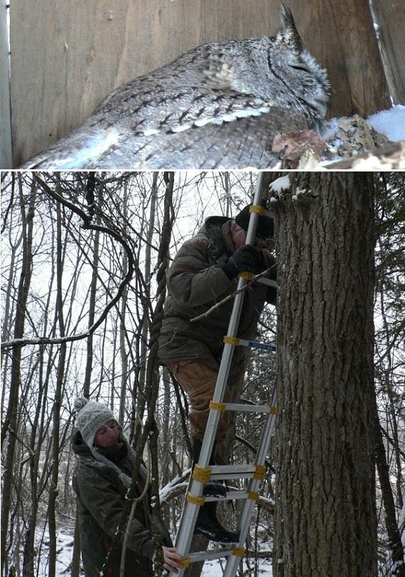 Reserve-nationale-de-faune-lac-St-Francois-hiver-hibou-dort-dans-nichoir-et-biologistes-Photo-courtoisie-publiee-par-INFOSuroit