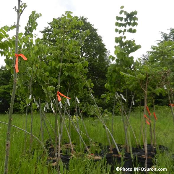 Beauharnois-plantation-arbres-au-bois-Robert-pres-riviere-St-Louis-Photo-INFOSuroit