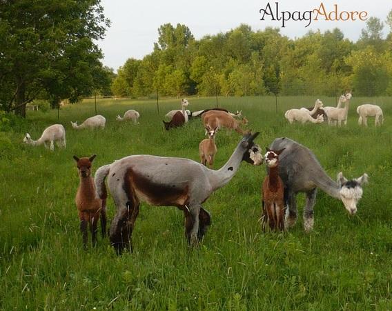 Alpagas-AlpagAdore-photo-courtoisie-publiee-par-INFOSuroit