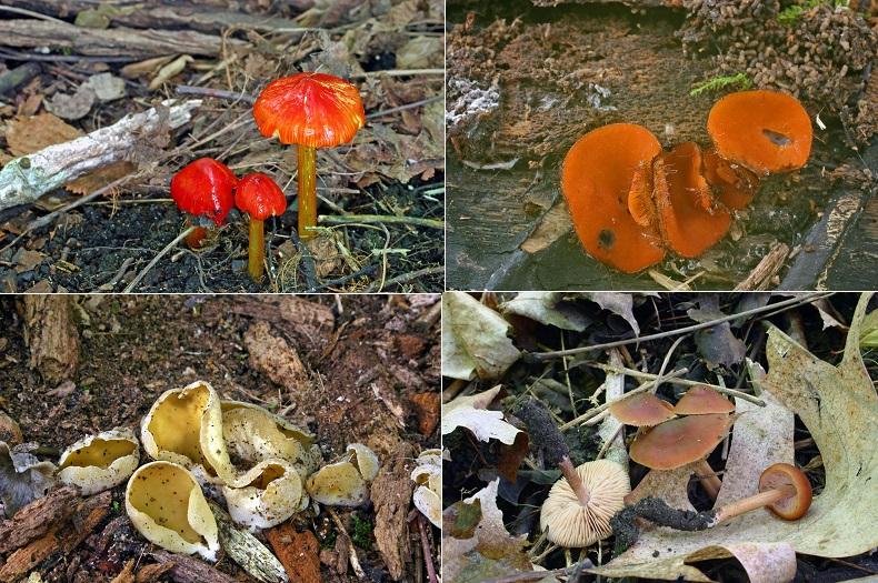 Champignons-inventaire-biologiste-Raymond_McNeil-corridor-vert-Chateauguay_Lery-photos-courtoisies-publiees-par-INFOSuroit