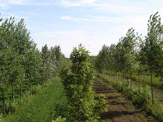 Projet-culture-intercalaire-agroforesterie-a-Notre-Dame-de-L-ile-Perrot-Photo-NDIP