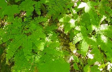 Rigaud-Sentiers-de-L-Escapade-fougeres-arbustes-Photo-Escapade-Rigaud