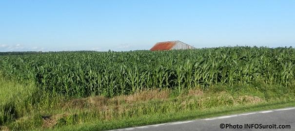 Agriculture maïs à Les Cèdres dans Vaudreuil-Soulanges Photo INFOSuroit.com