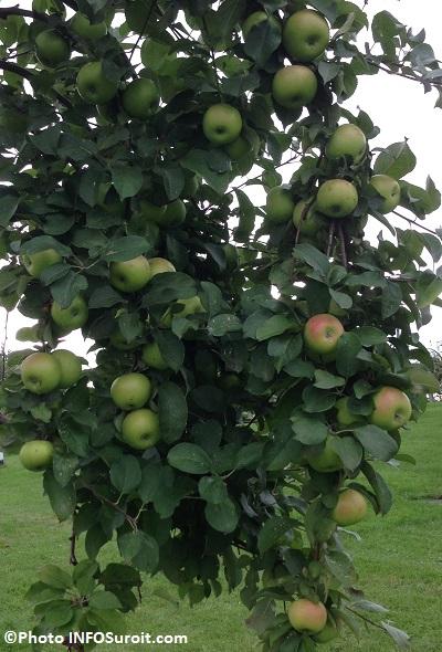 Pommes-vertes-et-rouges-vergers-automne-Photo-INFOSuroit_com