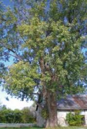 Projet-Les-arbres-en-ville-de-Crivert-Valleyfield-photo-courtoisie-publiee-par-INFOSuroit_com