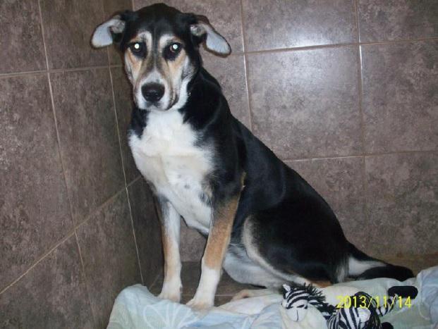 Miss-berger-SPCA-Valleyfield-chien-photo-courtoisie-publiee-par-INFOSuroit_com