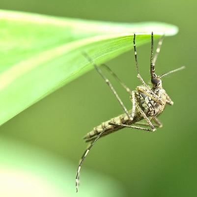 moustique-insecte-controle-par-firme-GDG-Environnement-photo-Ville-Chateauguay-publiee-par-INFOSuroit_com