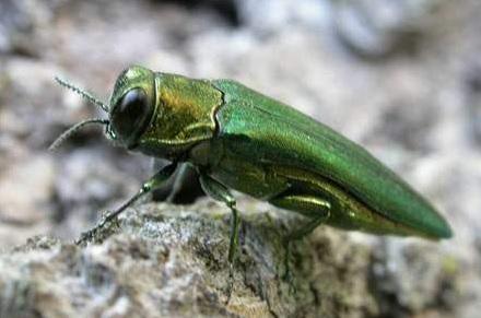 Agrile-du-Frene-insecte-nuisible-photo-courtoisie-publiee-par-INFOSuroit_com