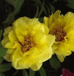 Pivoine-fleur-icone-florale-Valleyfield-photo-courtoisie-publiee-par-INFOSuroit_com