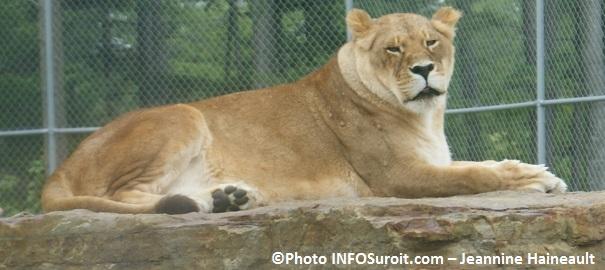 Parc Safari Hemmingford lion felin photo Jeannine_Haineault INFOSuroit