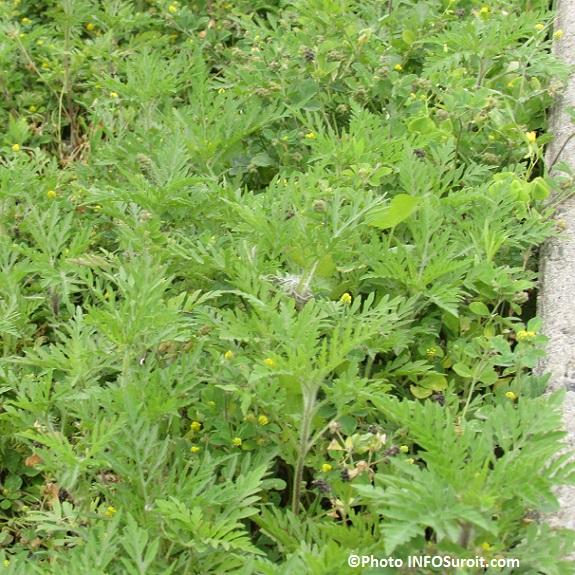 herbe-a-poux-sur-boulevard-Sainte-Marie-Valleyfield-juillet-Photo-INFOSuroit_com
