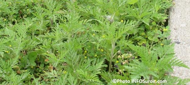 herbe-a-poux-sur-boulevard-Sainte-Marie-a-Valleyfield-juillet-Photo-INFOSuroit_com