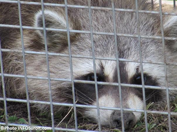 Raton-laveur-en-cage-Photo-INFOSuroit_com