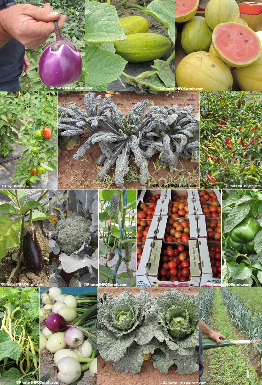 aubergine concombres jaune melons d eau jaune chou kale oignons et plus Photos INFOSuroit_com