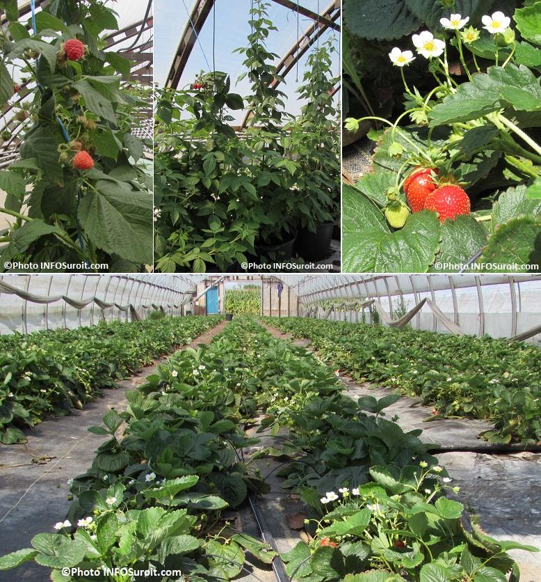 framboises fraises en serre chez Freres Leduc Photos INFOSuroit_com
