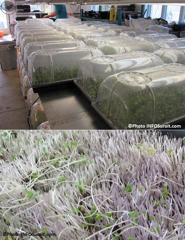 installation Fous du ble a Ormstown nouvelles pousses en developpement Photo INFOSuroit