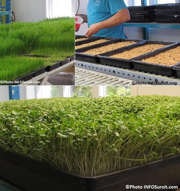 pousses de ble graines et pousses de tournesol Fous du ble a Ormstown Photos INFOSuroit_com