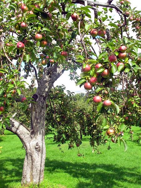 Pommier-biologique-pommes-verger-photo-Dominic_Gendron-publiee-par-INFOSuroit_com