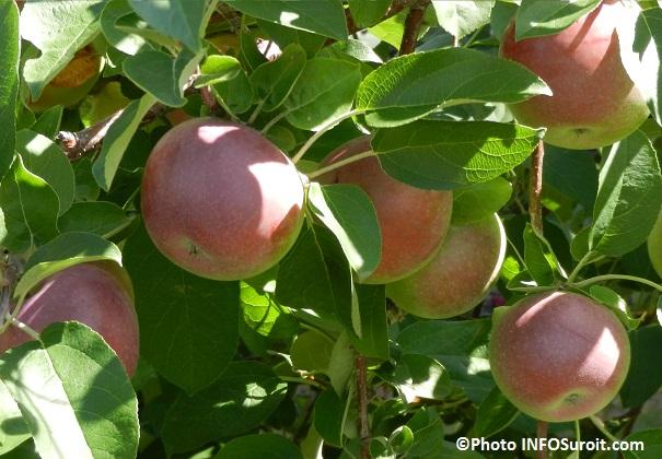 pommes verger pommier arbre automne Photo INFOSuroit_com