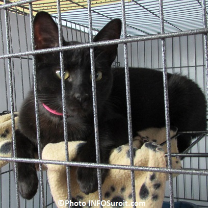 Services animaliers Valleyfield chat pour adoption 28 mars 2015 Photo INFOSuroit_com