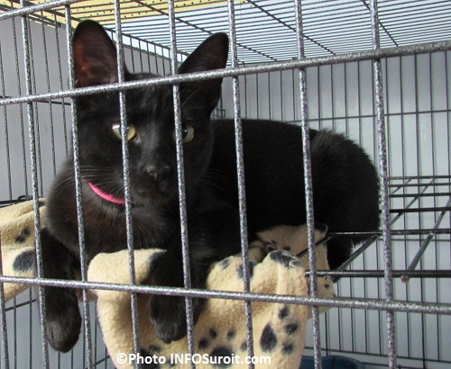 Services animaliers Valleyfield chat pour adoption mars 2015 Photo INFOSuroit_com