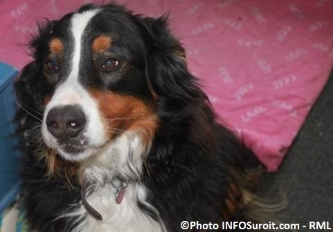 chien Mika bouvier bernois Photo RML pour INFOSuroit