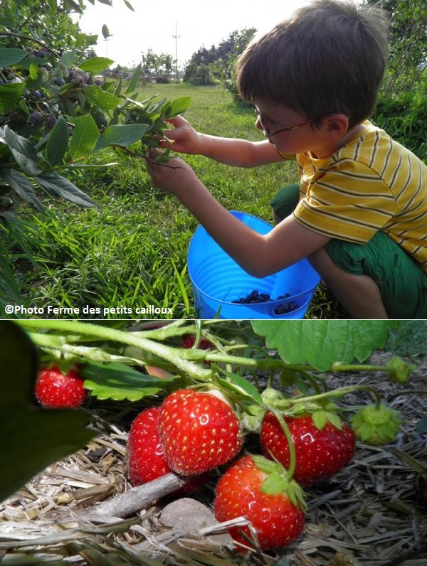 famille enfant cueillette bleuts fruits fraises Photos Ferme_des_petits_cailloux a Franklin via TourismeSuroit