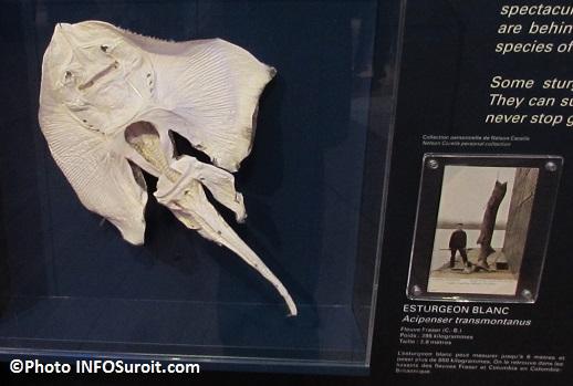 Raie et esturgeon blanc exposition Fantastiques monstres marins au MUSO Photo INFOSuroit_com