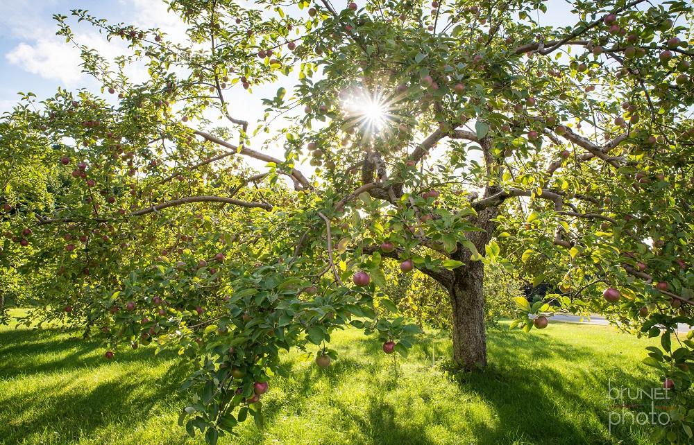 gite-Au-Petit_Ruisseau-Franklin-Verger-pommes-Photo-courtoisie-aupetitruisseau_com