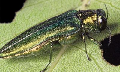 Agrile-du-frene-insecte-photo-courtoisie-publiee-par-INFOSuroit_com