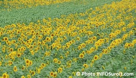 champ fleurs de tournesols a Les_Cedres Photo INFOSuroit_com