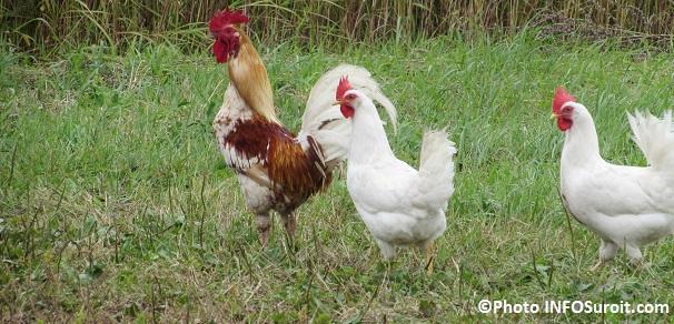 coq-et-poules-Photo-INFOSuroit_com