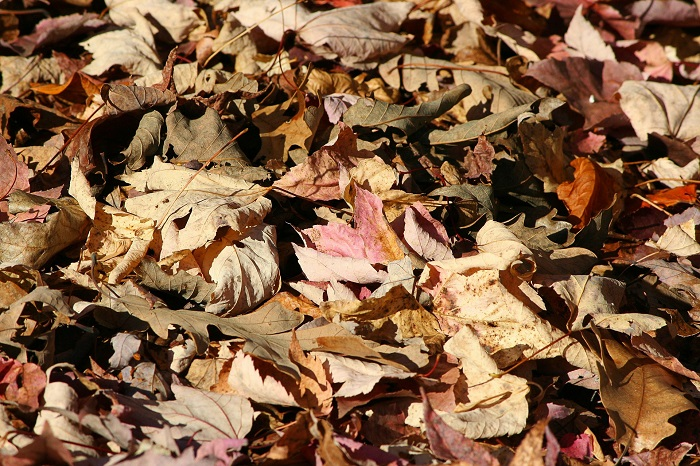 feuilles-mortes-erable-automne-couleur-Photo-Pixabay-via INFOSuroit