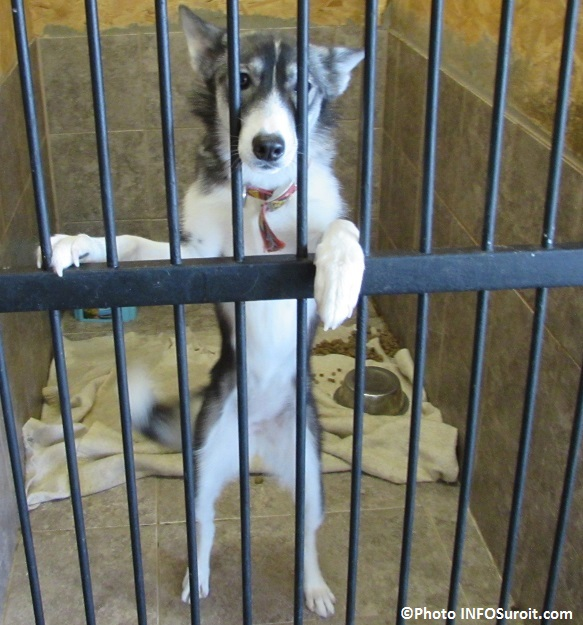 Services animaliers Valleyfield un chien pour adoption mars 2015 Photo INFOSuroit_com