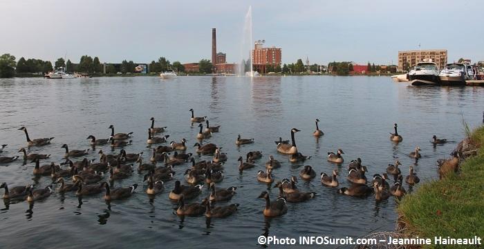 bernaches baie du lac St-Francois centre-ville Valleyfield Photo Jeannine_Haineault pour INFOSuroit_com