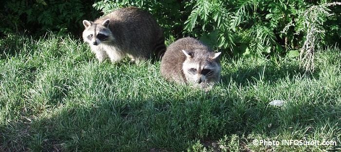 animal nuisible ratons laveurs en ville pelouse Photo INFOSuroit_com