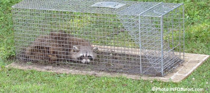raton laveur trappe dans une cage photo infosuroit