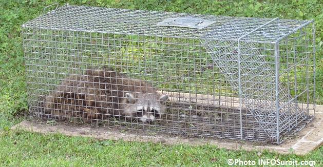 raton laveur trappe dans une cage photo infosuroit_com