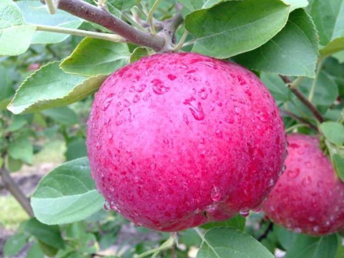 ferme_hubert-sauve-valleyfield-pommes-photo-courtoisie-bs