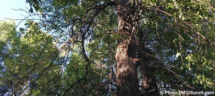 arbre-malade-frene-dans-parc-de-la-ville-photo-infosuroit